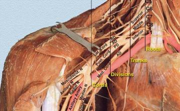brachialplexus